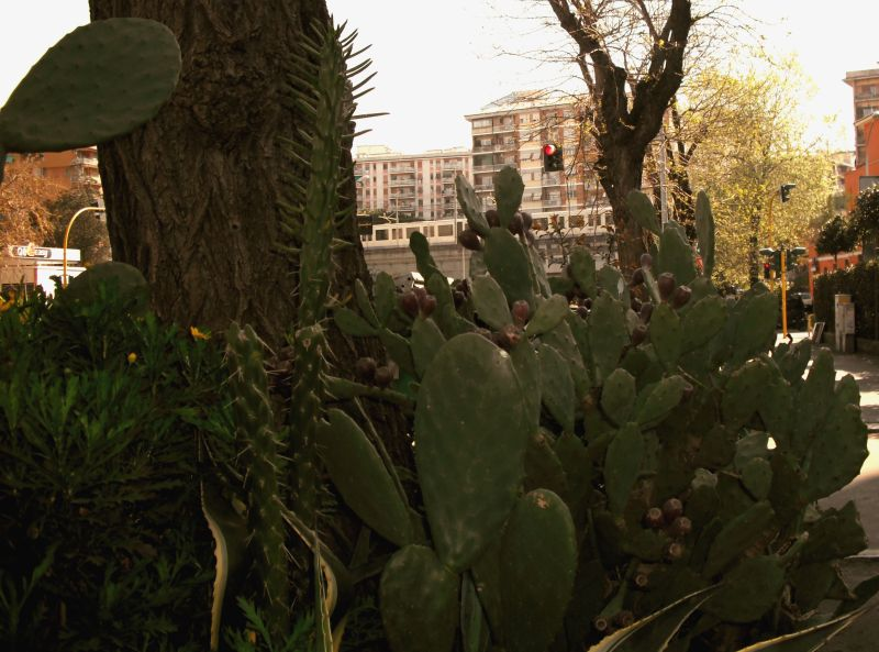 Prickly pears in the city, with traffic lights and metro train (Rome, March 2010)